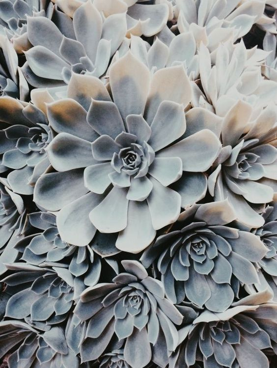 pale succulents