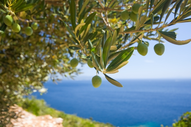 olive tree with the sea