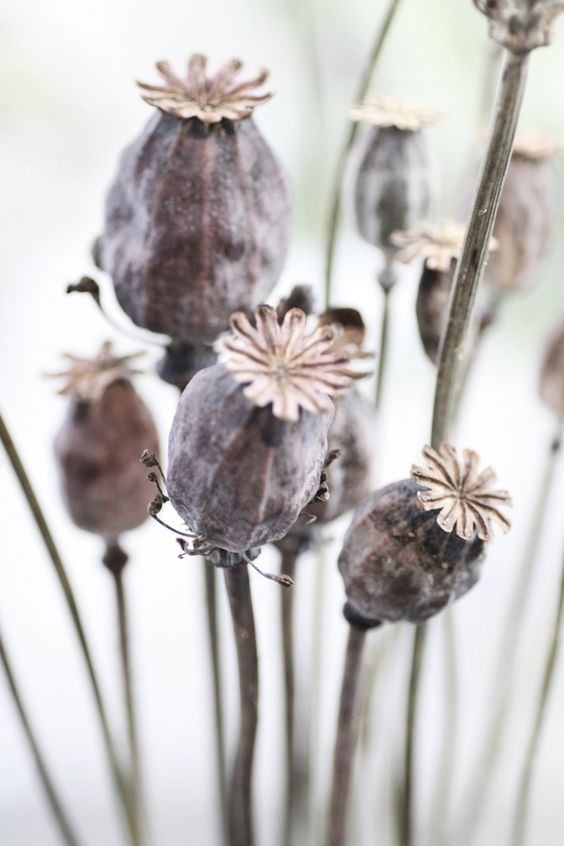 dry poppies