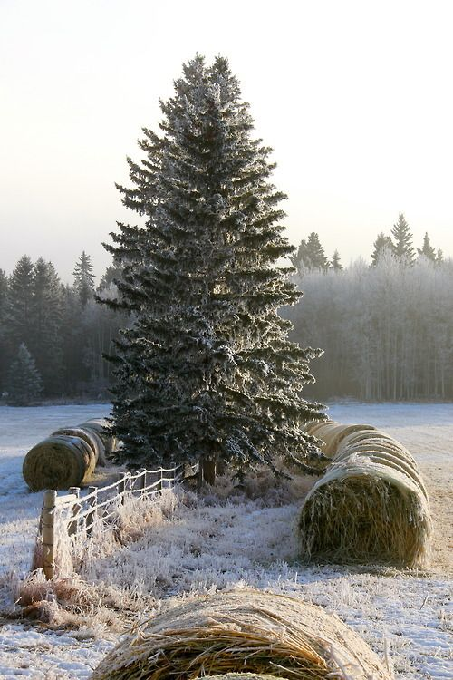 frosty pine and haybales
