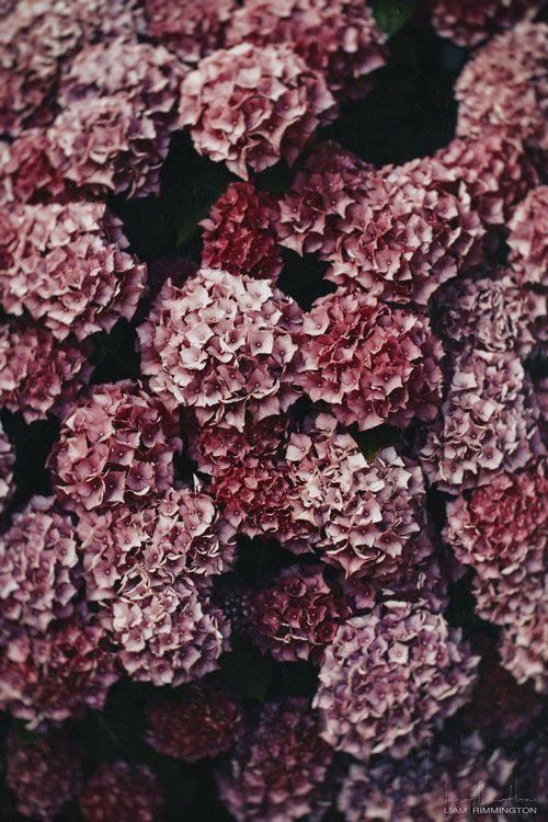 hydrangeas marsala