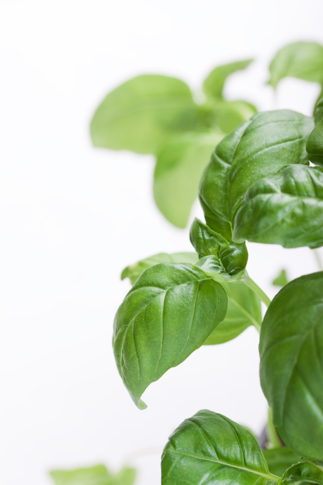 close-up of basil plant